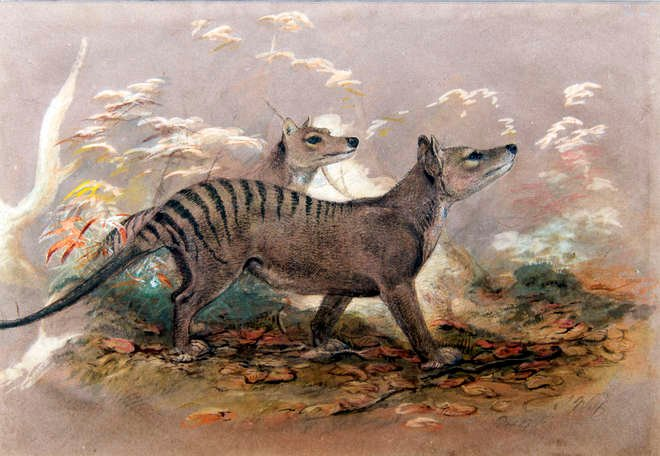 Painting of a wolf like marsupial, a thylacine or Tasmanian tiger