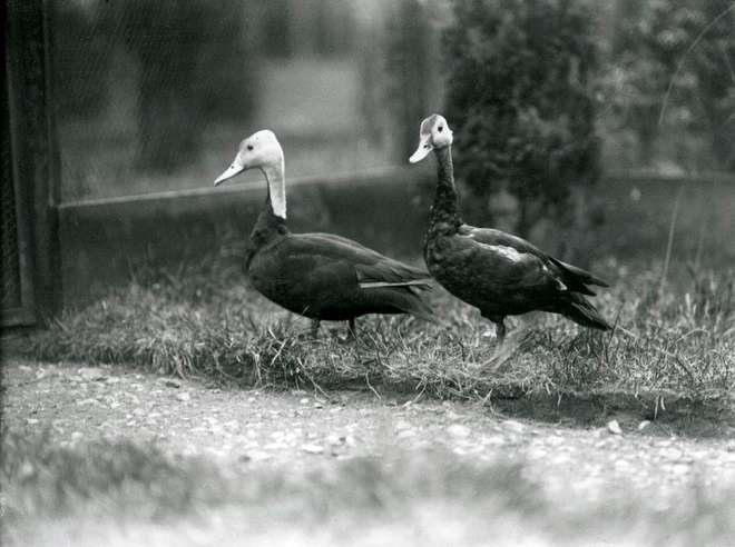 Black and white historic photograph of two pink headed ducks