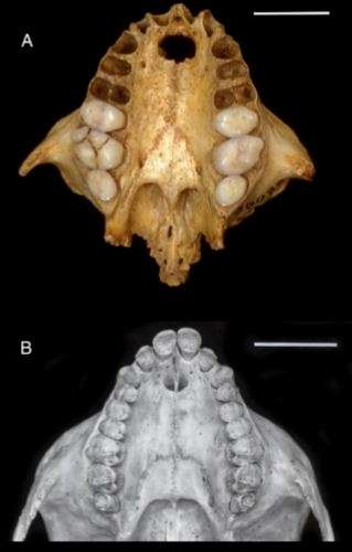 Xenothrix skull alongside a skull from a copper titi monkey