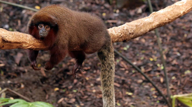 Red titi monkey resting on a branch