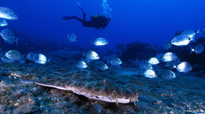 An angel shark on the sea bed surrounded by other fish with diver in background