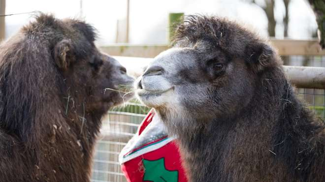 Bactrian camels Noemie and Ghenghis enjoy giant Xmas stocking at ZSL London Zoo