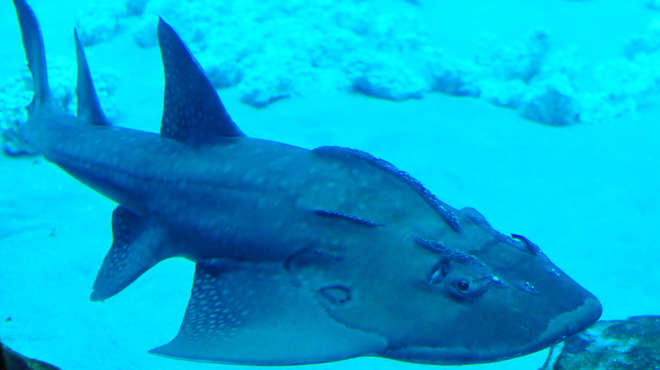 Close up of a bowmouth guitarfish swimming in tropical waters