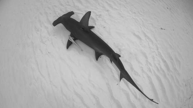 Top view of a great hammerhead shark in black and white over the sand in Bimini, Bahamas