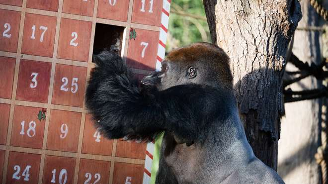 Western lowland gorilla Kumbuka enjoys giant advent calendar at ZSL London Zoo