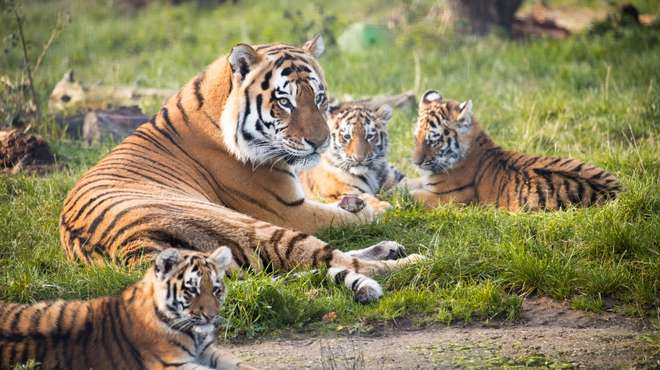 Amur tiger family at ZSL Whipsnade Zoo