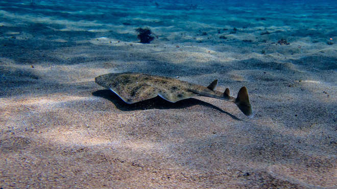 Angelshark on the sea bed in clear water