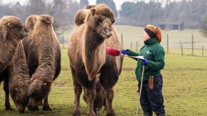 Counting the camels at ZSL Whipsnade Zoo's stocktake in January 2019