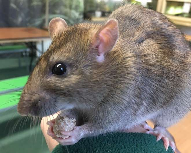 Fossey the brown rat in training