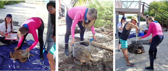 Jeanne measuring and weighing turtles. Turtle Cove, Diego Garcia, BIOT