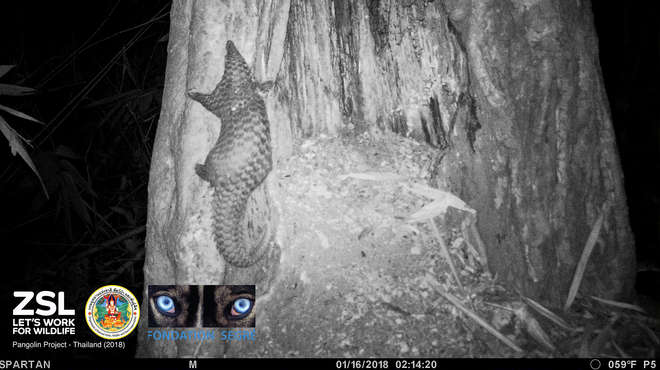 Camera trap image of a young pangolin exploring a hole in a tree