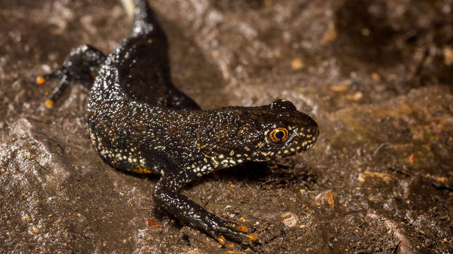 Close up photograph of a great crested newt in the wild