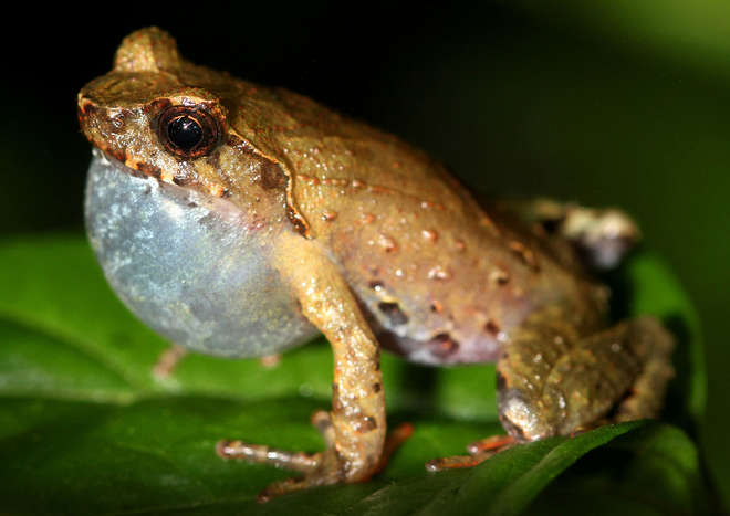 Photograph of a Red thighed horned tree frog sat on a leaf