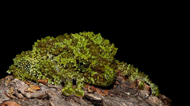 Photograph of a Mossy Frog sat on a rock