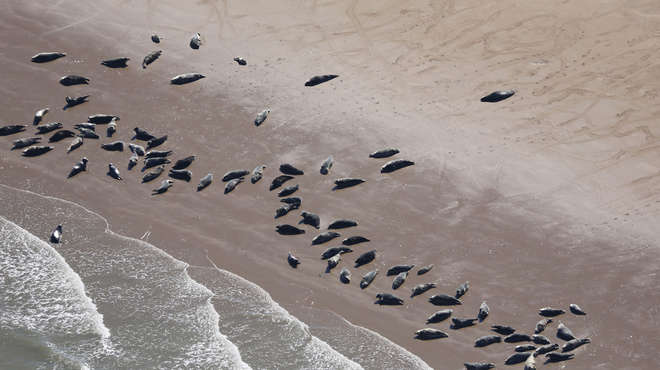 Arial photograph of many seals lounging on the shore close to the water's edge