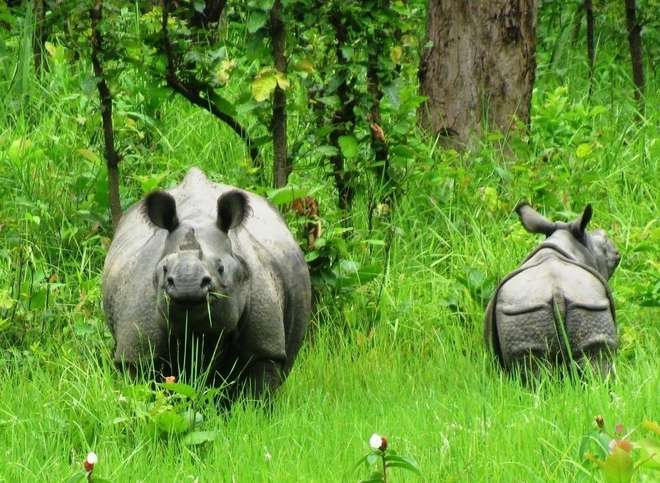 Greater one-horned rhino and calf in Chitwan National Park