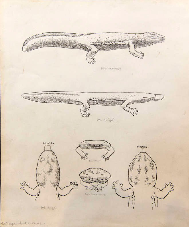 Ink drawing of several views of Chinese giant salamander