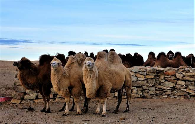 Bactrian camels in Mongolia ZSL
