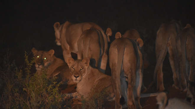 Photograph of several lions resting at night