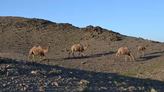 Photograph of three camels on a hillside in Mongolia