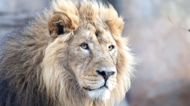 Male lion looking into the distance