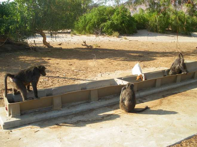 Several chacma baboons share a water source with a heard of domestic goats