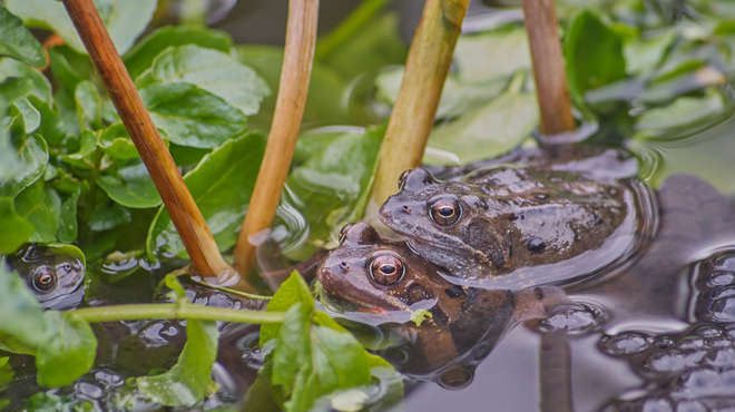 Photograph of frogs mating in a leafy pond
