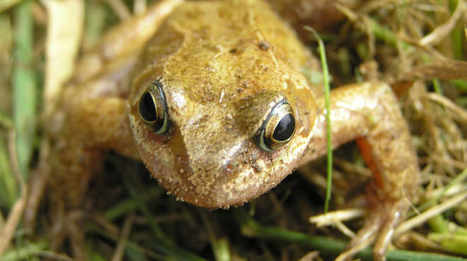 Close up photograph of a common frog in the grass