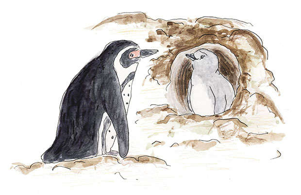 Penguin in a burrow