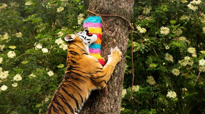 An Amur tiger cub climbs up a tree to get to his birthday treat