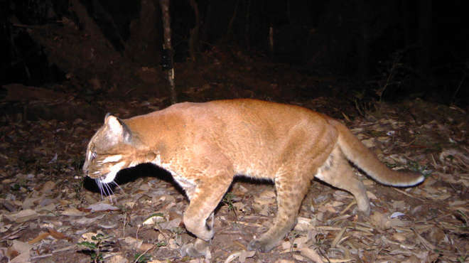 Camera trap image of an Asian golden cat from the side, at night.
