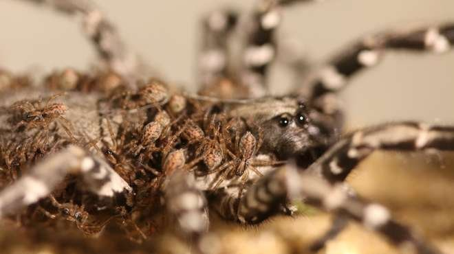 Baby Desertas wolf spiders climb all over their mum's back