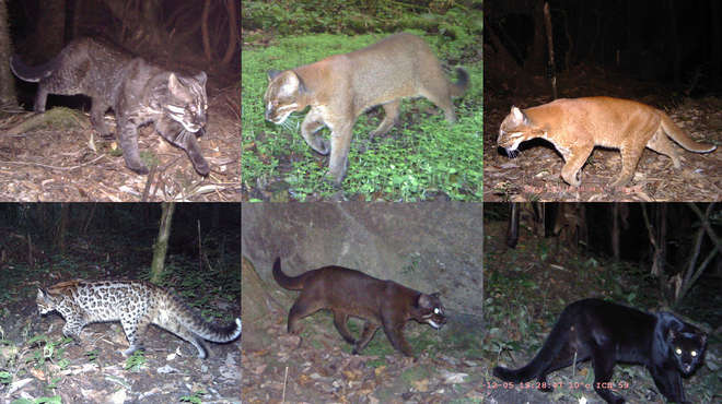 Six individual images showing the differing colour morphs of the Asian golden cat