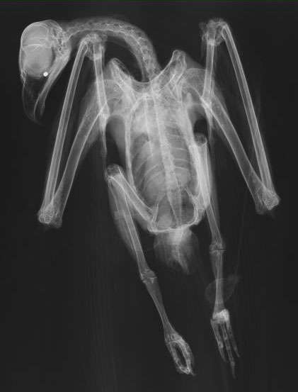 Image - X-ray of a bird showing a pellet lodged in the skull