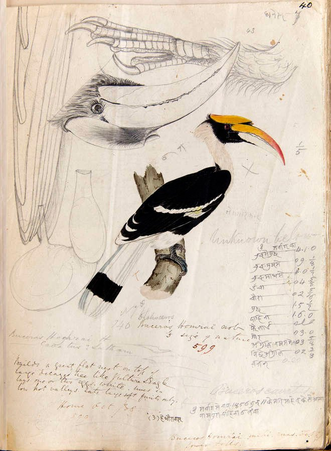 A colour drawing of a hornbill with pencil notes and pencil drawings of details