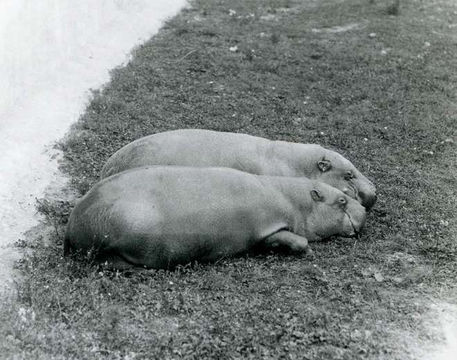 Two Pygmy Hippos resting together on grass, at ZSL Whipsnade Zoo, in June 1931