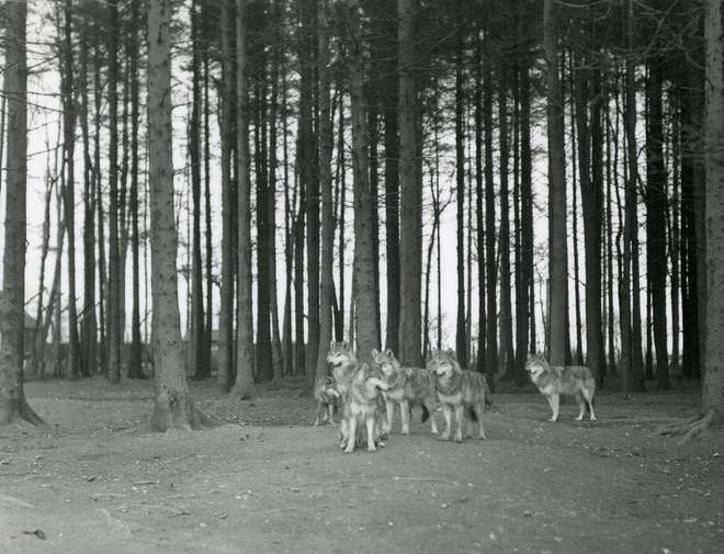 Black and white photograph of a pack of wolves against a background of tree trunks