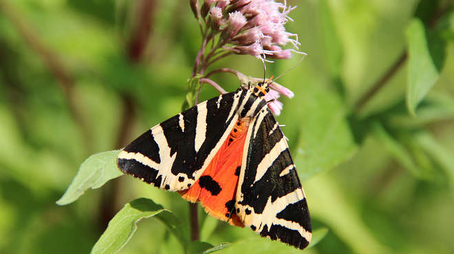 Close up photo of a large moth with orange body, orange inner wings with black spots and black & white striped outer wings.