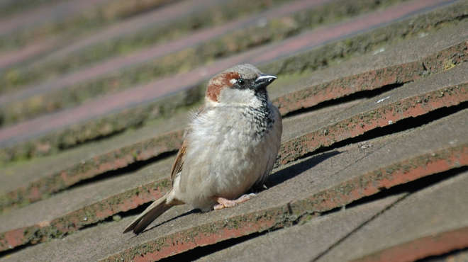 Close up photo of a house sparrow on the roof of a house