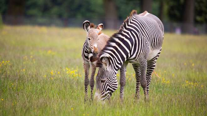 Zebra foal Azizi with mum Henna in June 2019 at ZSL Whipsnade Zoo