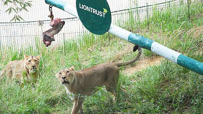 Lionesses at ZSL London Zoo celebrate World Lion Day with a seesaw