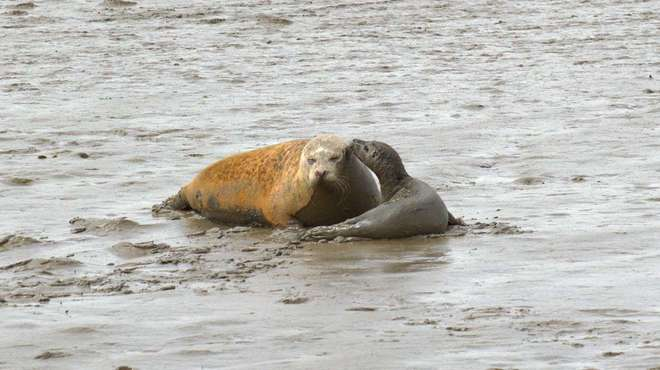 Photo - Mother seal and pup snuggled together in mud