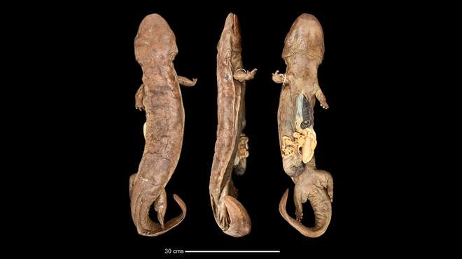 Image - Composite photo of three profiles of a preserved specimen of a Chinese giant salamander