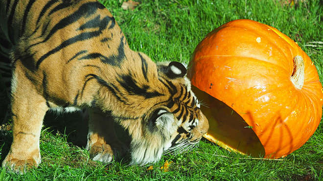 photo - tiger looking at pumpkin
