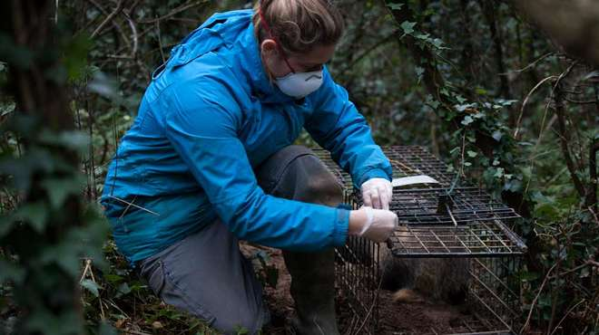 Photo - Scientist kneeling on the ground, opening a metal mesh badger trap in a wooded area.