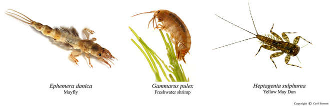 Image - Composite photo of 3 larvae found in rivers, on a white background