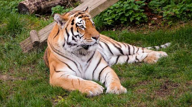 An Amur tiger lying down at ZSL Whipsnade Zoo