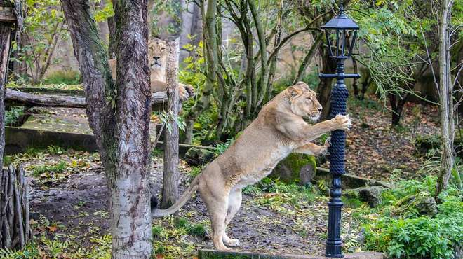 Asiatic lioness Indi scratches at the iconic lamp post from The Lion, the Witch and the Wardrobe