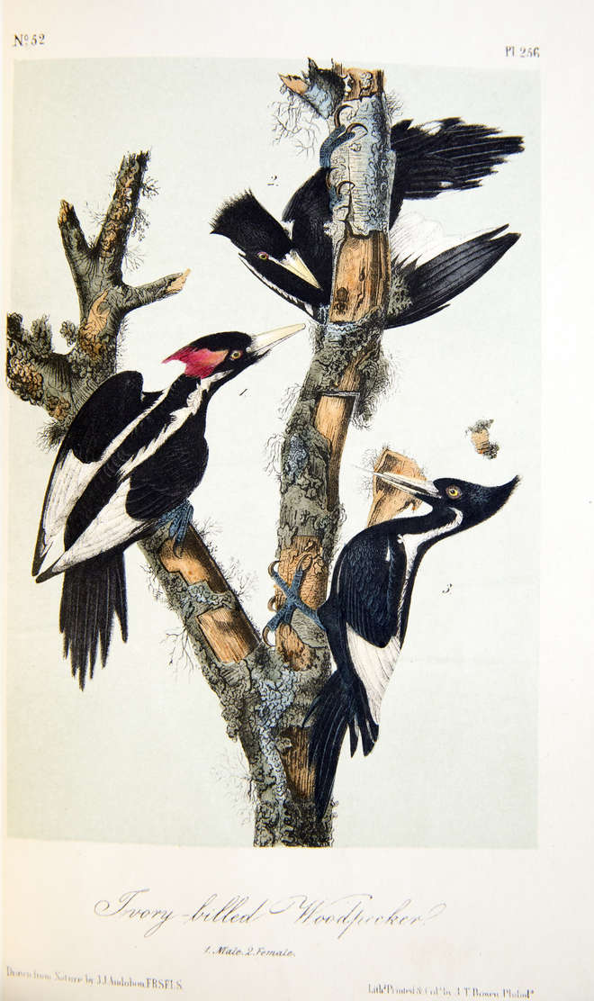 Colour illustration of three extinct ivory billed woodpeckers on a tree trunk