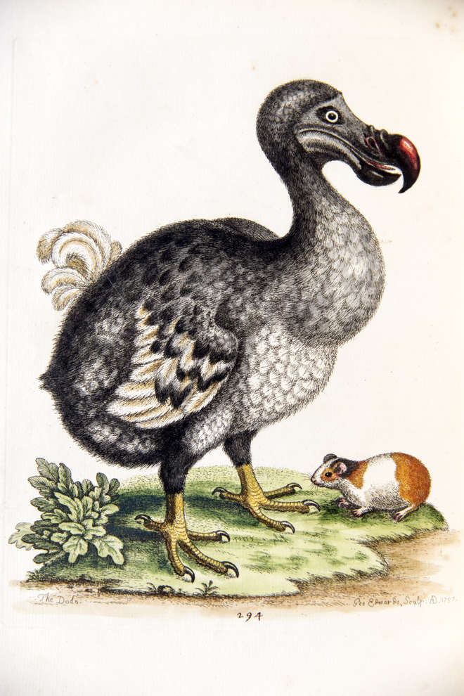 Colour illustration of a large dodo in profile with a smaller guinea pig